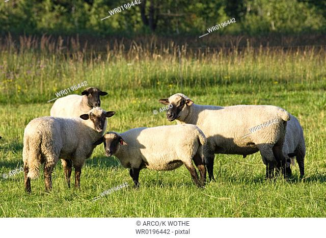 German Black-headed Sheep