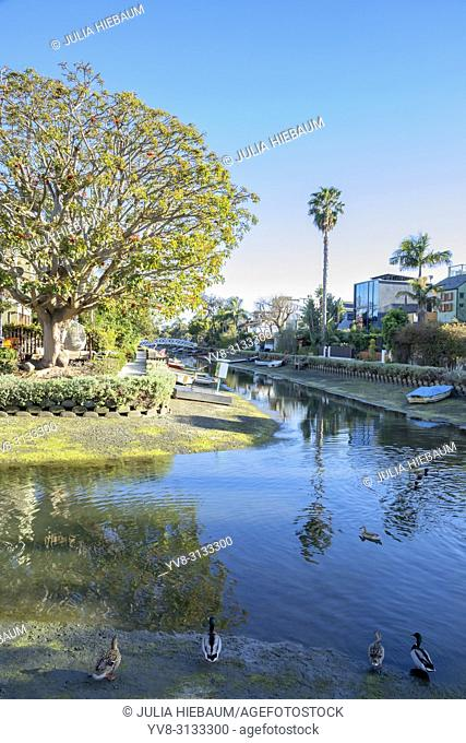 Several ducks in Venice canals, Los Angeles, California