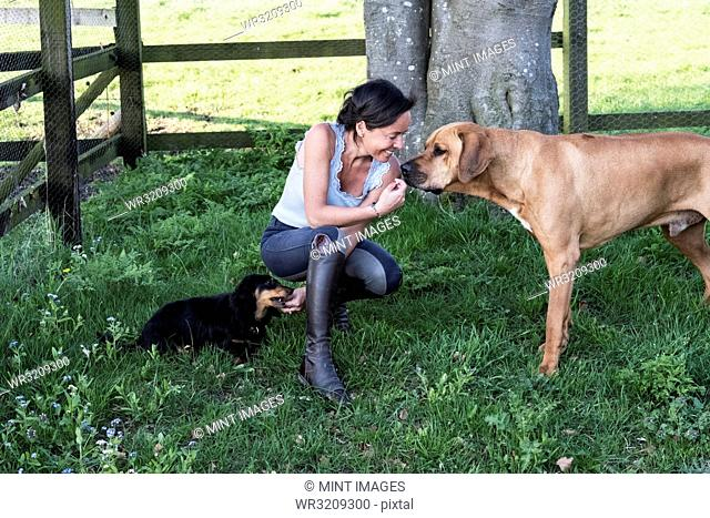 Woman kneeling in a paddock, giving treats to two dogs, a Rhodesian Ridgeback and Dachshund