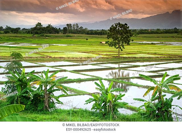 rice field on a plain. Thailand