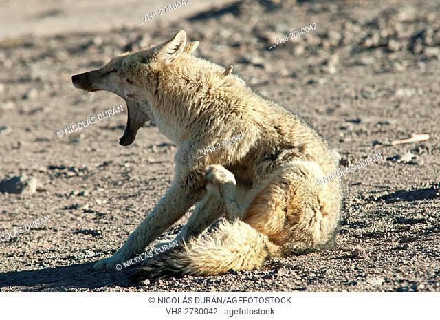 Adult culpeo or Andean fox (Dusicyon culpaeus), Nevado Tres Cruces National Park, Atacama Region, Chile