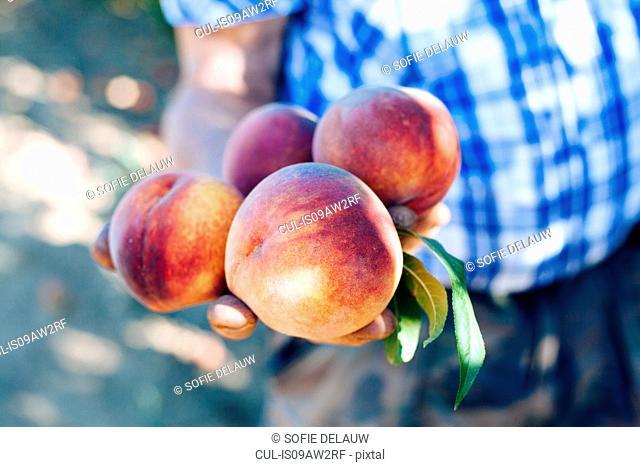Hand of senior male farmer holding fresh nectarines, Italy