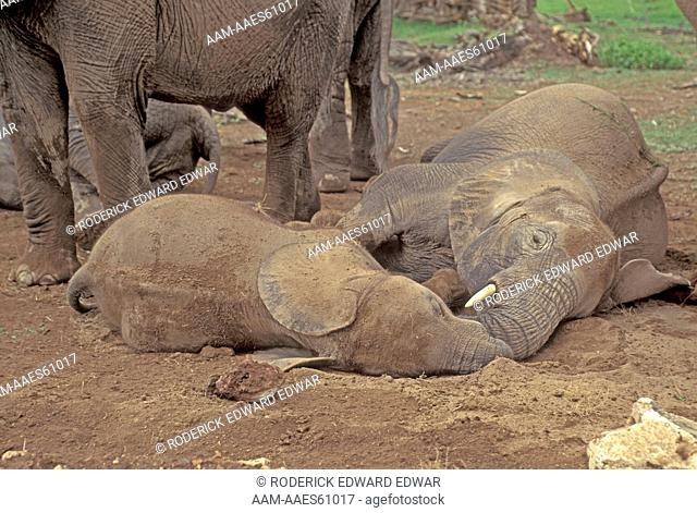 Very young baby and subadult resting in Amboseli National Park, Kenya, East Africa