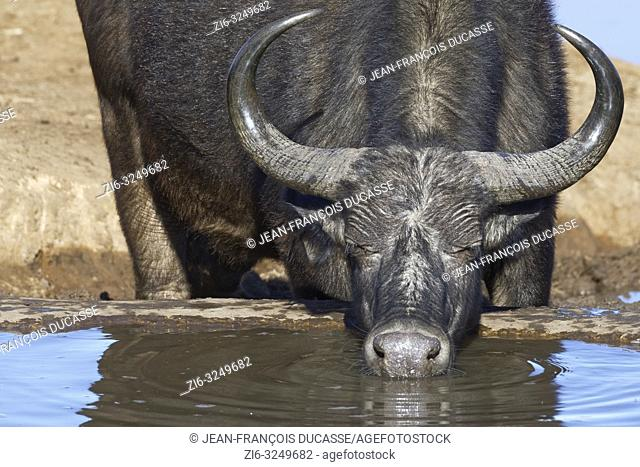 African buffalo (Syncerus caffer), adult, drinking at a waterhole, Addo Elephant National Park, Eastern Cape, South Africa, Africa