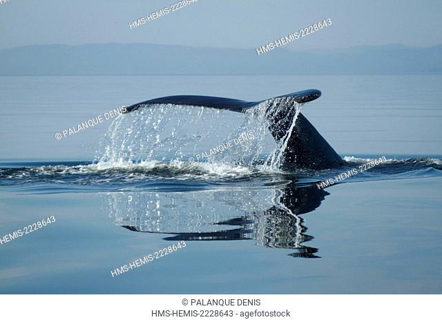 Canada, Quebec province, Manicouagan, Saint Laurent River, Tail of Humpback Whale (Megaptera novaeangliae) diving, LC IUCN