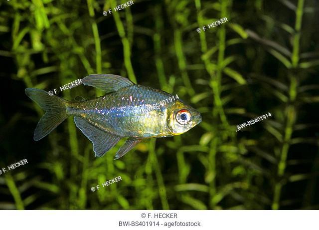 Diamond tetra, Pittier's tetra (Moenkhausia pittieri), swimming