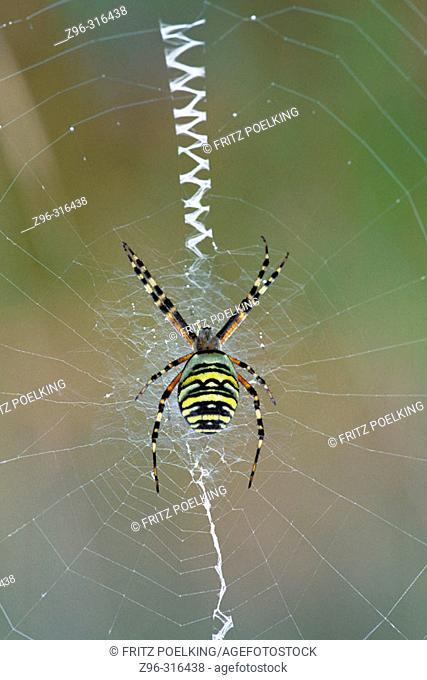 Wasp Spider (Argiope bruennichi). Germany