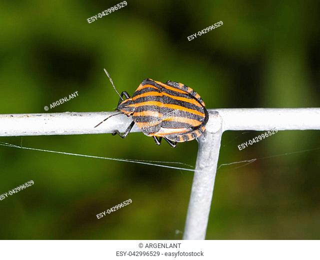 Striped-bug or minstrel bug Graphosoma lineatum on tube fence, macro, selective focus, shallow DOF