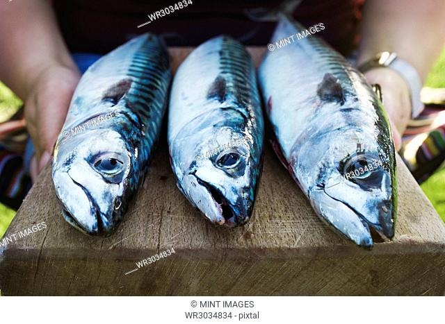 Three fresh mackerel fish on a wooden board being prepared for cooking