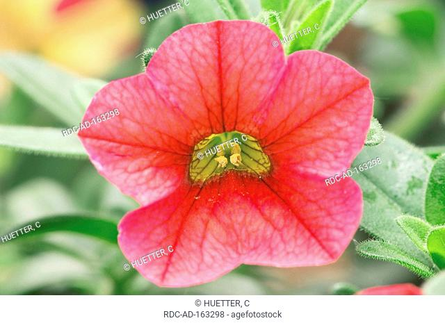 Petunia Petunia hybride