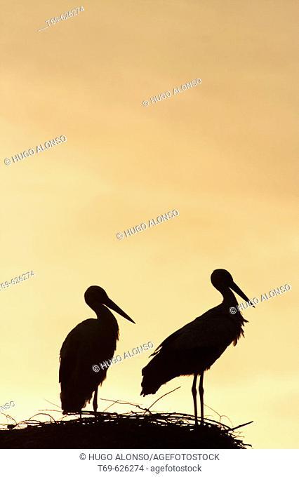 White Stork (Ciconia ciconia). Spain