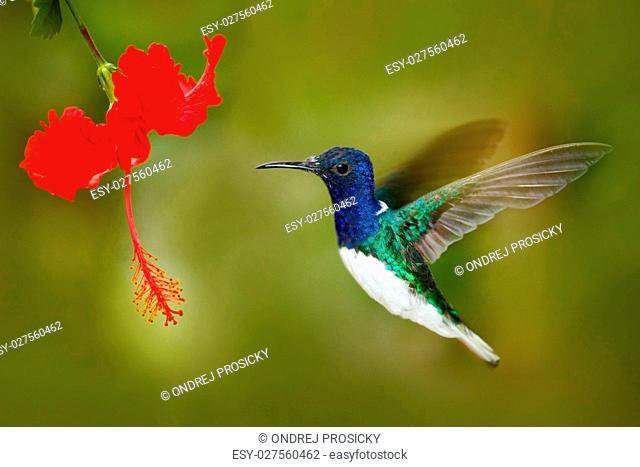. Hummingbird White-necked Jacobin