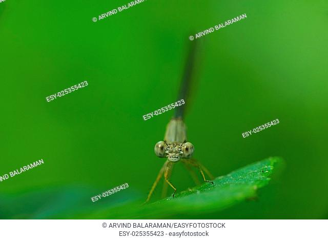 A damselfly perching on a blade of grass