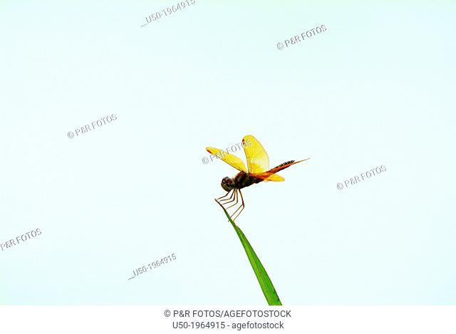 Amberwing male, Perithemis sp., Libellulidae, Anisoptera, Odonata