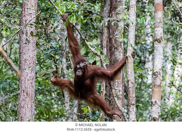 Young Bornean orangutan (Pongo pygmaeus) at Camp Leakey, Borneo, Indonesia, Southeast Asia, Asia