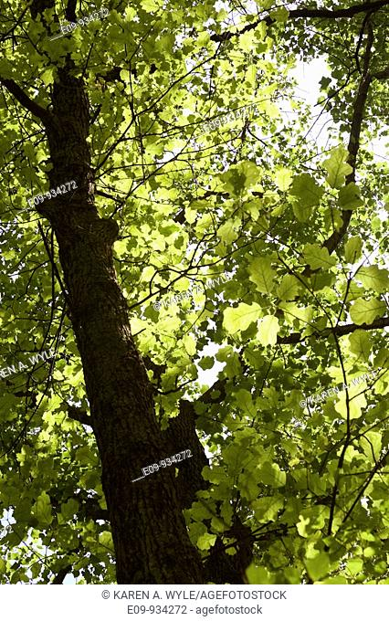 tree with new spring foliage, from below, dappled sunlight, Monroe County, IN