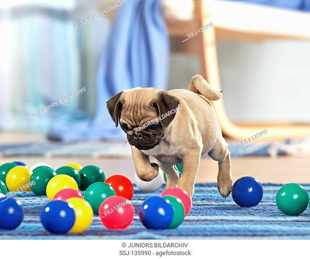 pug puppy - playing restrictions: Tierratgeber-Bücher / animal guidebooks