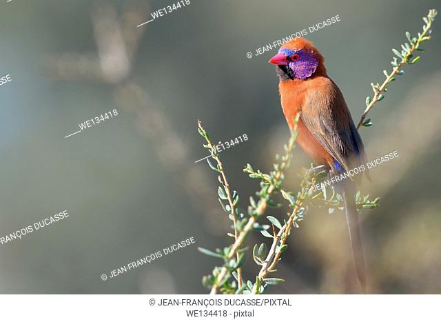 Violet-eared Waxbill (Uraeginthus granatina), male, perched on a twig, Kgalagadi Transfrontier Park, Northern Cape, South Africa, Africa