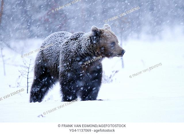 Eurasian Brown Bear during heavy snowfall  Spring 2010  Martinselkonen, Finland