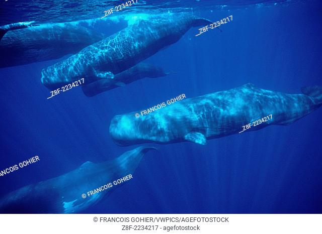Sperm whale.Physeter macrocephalus.Near the Azores Islands (Portugal). North Atlantic Ocean