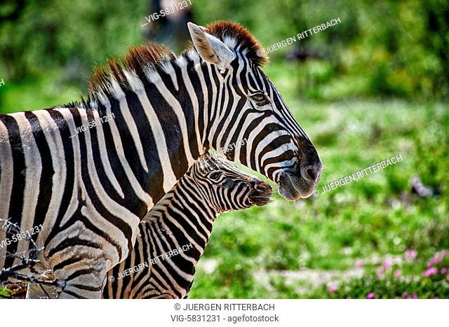 NAMIBIA, ETOSHA NATIONAL PARK, 23.02.2017, Burchell's zebras, mother with foal, Etosha National Park, Africa - Etosha National Park, Namibia, 23/02/2017