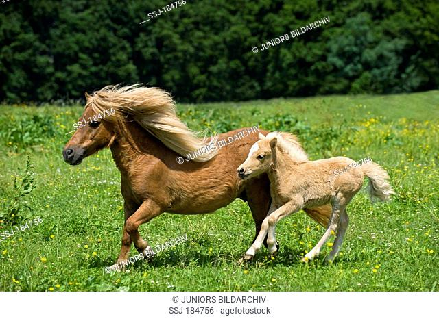 Shetland Pony. Mare and foal (8 weeks old) galloping on a pasture