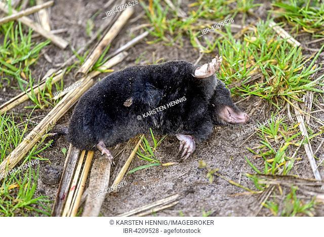 Dead European mole (Talpa europaea), Altmark, Saxony-Anhalt, Germany