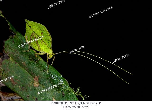 Leaf bush cricket or Leaf katydid (Tettigoniidae) emulating a green leaf, Tiputini rain forest, Yasuni National Park, Ecuador, South America