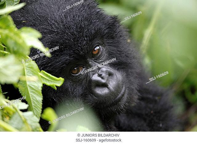 Mountain Gorilla - cub - portrait / Gorilla beringei beringei