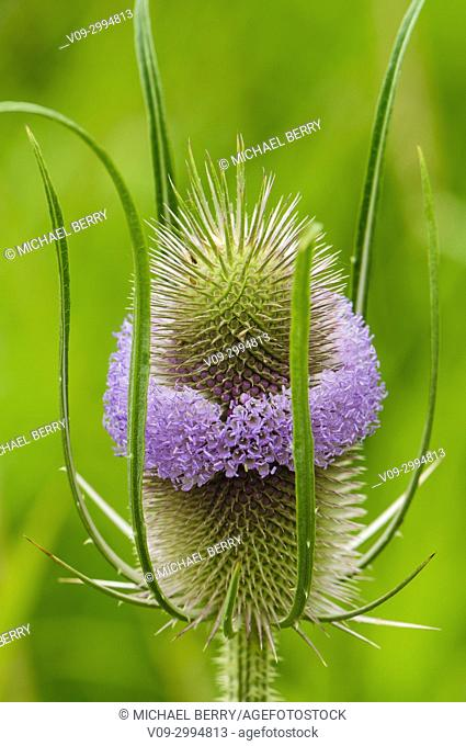 Teasel (Dipsacus sylvestris), Ankeny National Wildlife Refuge, Oregon, USA