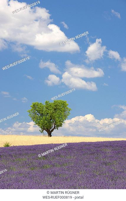 France, View of lavender field with tree