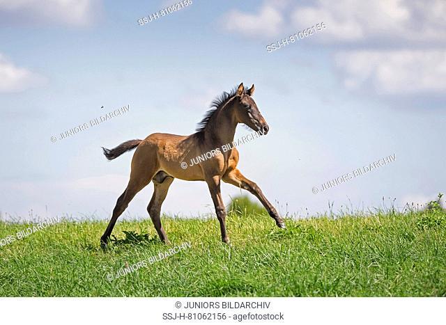 Bavarian Warmblood. Bay foal galloping on a meadow. Germany