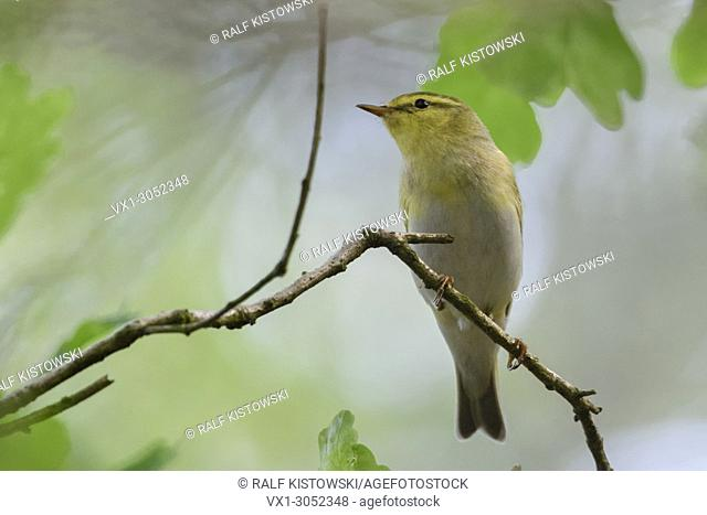 Wood Warbler ( Phylloscopus sibilatrix ), male in breeding dress, perched on a branch of an oak somewhere in the woods, typical view, wildlife, Europe