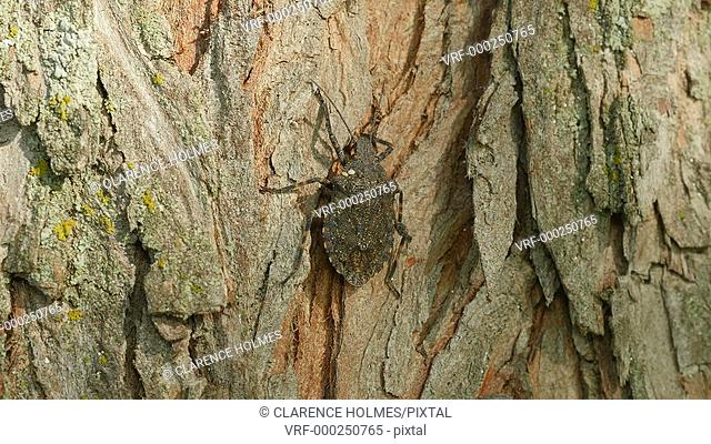 A Four-humped Stink Bug (Brochymena quadripustulata) perches on the side of a tree