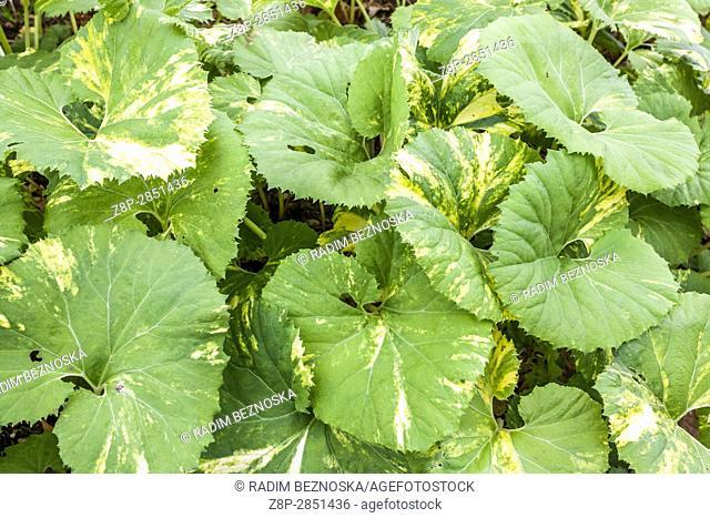 """Giant Butterbur, Petasites japonicus """"""""Variegata"""""""""""