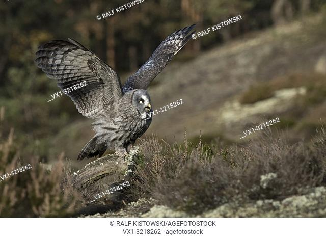 Great Grey Owl / Bartkauz ( Strix nebulosa ) perched on a peace of wood on a clearing in the midst of boreal woods, exited, flapping wings, calling, Europe