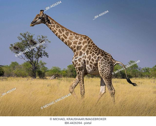 South African giraffe or Cape giraffe (Giraffa giraffa giraffa) in savannah, Moremi National Park, Okavango Delta, Botswana