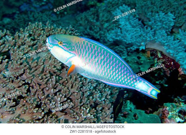Tricolor Parrotfish (Scarus tricolor), Manta Alley dive site, Padar Island, Komodo National Park, Indonesia