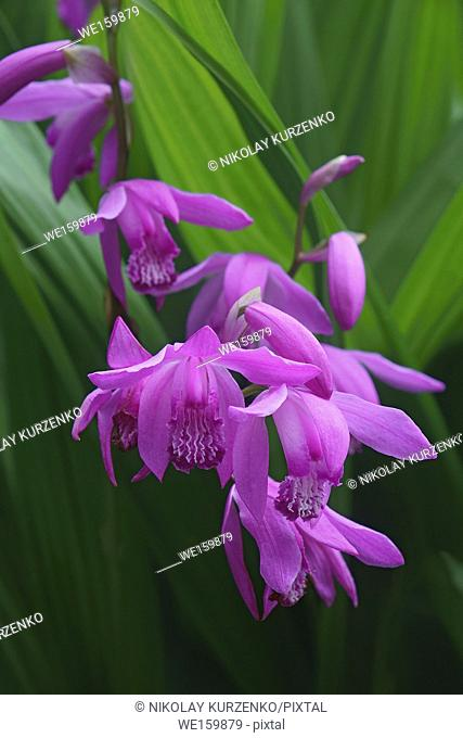 Hyacinth orchid (Bletilla striata). Called Chinese ground orchid also