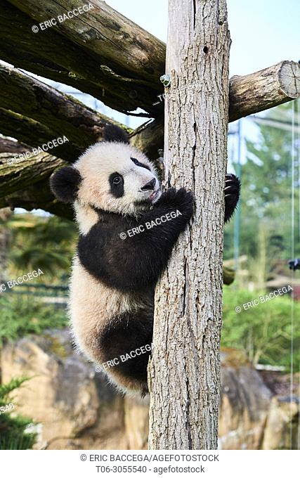 Giant Panda cub (Ailuropoda melanoleuca) climbing. Yuan Meng, first Panda even born in France, is now 8 months old and likes very much to stay in trees