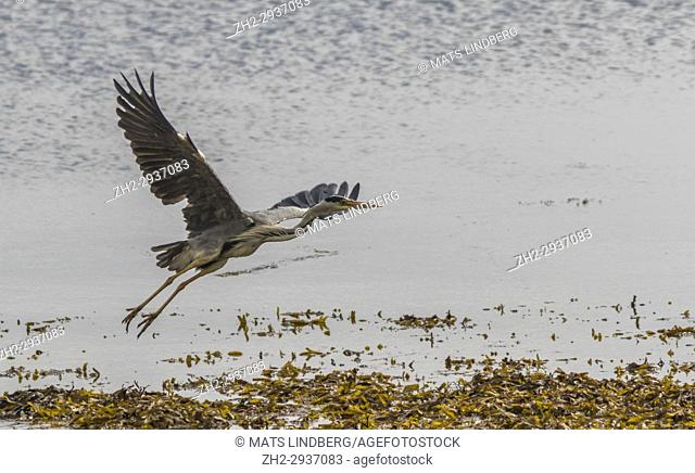 Grey heron, Ardea cinerea, flying over a shore of seaweed, Islay, Scotland