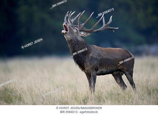 Red Deer (Cervus elaphus), stag roaring, Copenhagen, Denmark