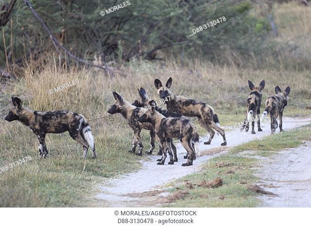 Afrique, Afrique australe, Bostwana, Parc national de Moremi, Lycaon (Lycaon pictus), groupe de Jeunes / Africa, Southern Africa, Bostwana, Moremi National Park