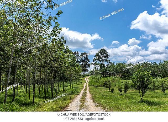 Rubber plantation in Buso Village, Sarawak, Malaysia