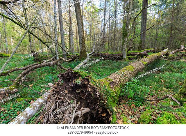 Old ash tree broken lying and old natural deciduous stand in fall, Bialowieza Forest, Poland, Europe