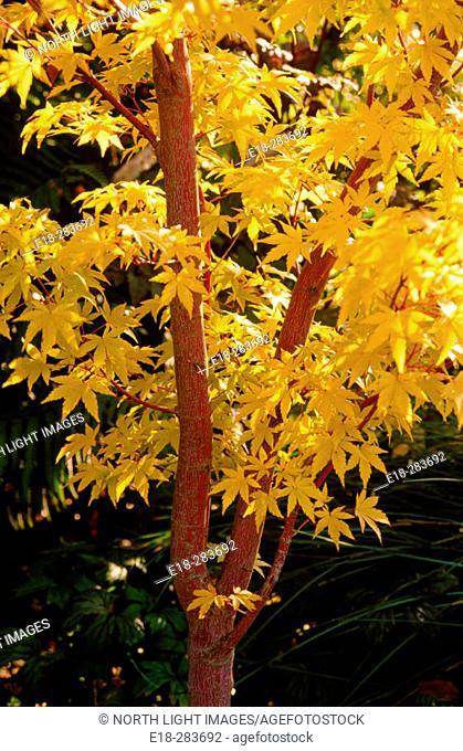Japanese Maple or Coral Bark Maple (Acer palmatum), Canada