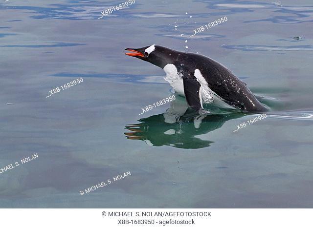 Adult gentoo penguin Pygoscelis papua porpoising for swimming speed near the Antarctic Peninsula, Southern Ocean