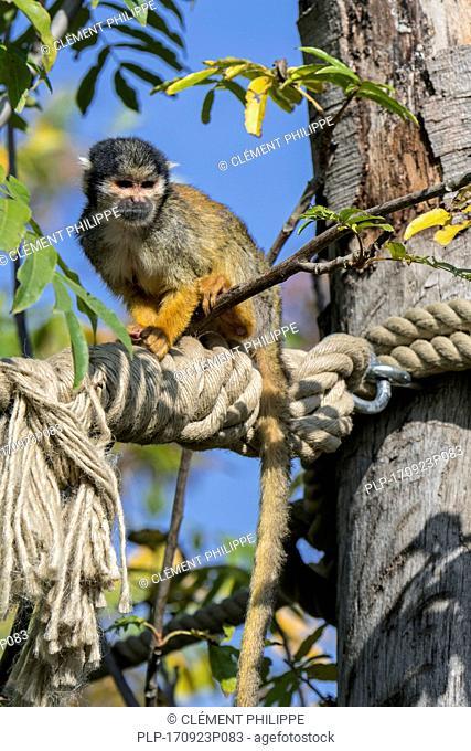 Black-capped squirrel monkey / Peruvian squirrel monkey (Saimiri boliviensis peruviensis) in outdoor enclosure at zoo / animal park