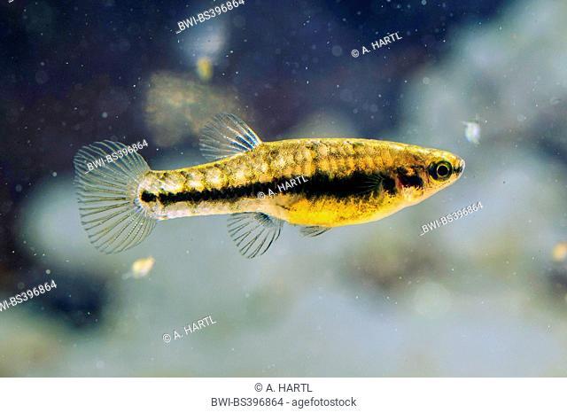 least killifish (Heterandria formosa), female, USA, Florida, Kissimmee