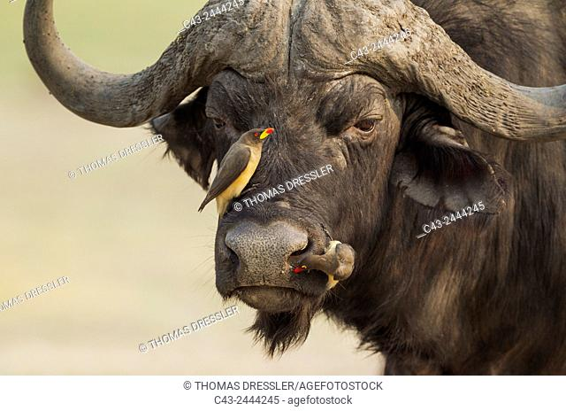 Cape Buffalo (Syncerus caffer caffer) - Bull with both a Yellow-billed Oxpecker (Buphagus africanus) on the left and a Red-billed Oxpecker (Buphagus...